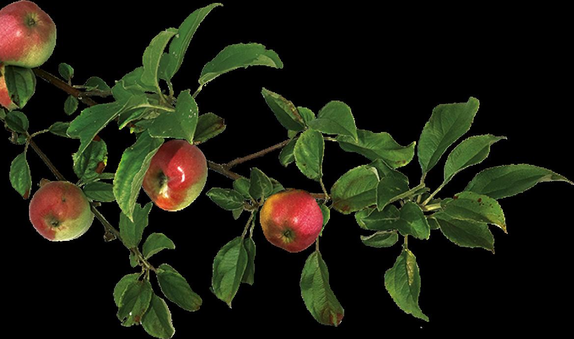 Rama de manzano